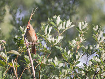 Cardinal bird in tree Royalty Free Stock Images