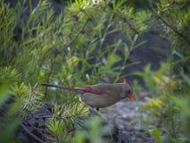 Cardinal bird in tree Royalty Free Stock Photo