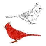 Cardinal Bird. Vector Set. Hand Drawn Illustration Stock Image