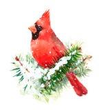 Cardinal Bird Watercolor Winter Christmas Illustration Hand Painted Royalty Free Stock Photo