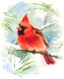 Cardinal Bird Watercolor Winter Illustration Hand Painted Royalty Free Stock Images