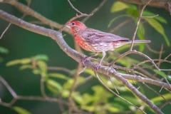 Cardinal bird in the wild in south carolina stock image