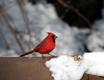 The Cardinal Bird at Winter. The cardinal sitting on the bench at winter Royalty Free Stock Images