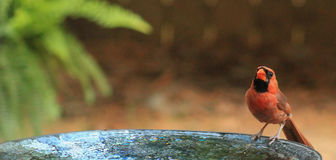 Cardinal-birdbath Royalty Free Stock Photos