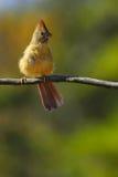 Cardinal on branch Royalty Free Stock Photos