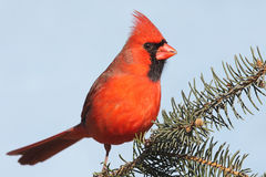 Cardinal On A Branch stock photo