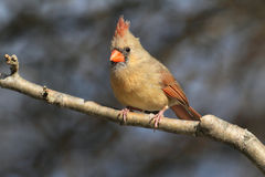 Cardinal On A Branch Stock Photography