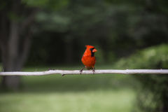 Cardinal on a branch Royalty Free Stock Photo