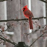 Cardinal on a branch while snowing. A red Cardinal sitting on a branch during a snowfall eating seeds with a grey fence in the background royalty free stock photo