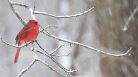 Cardinal on branch in winter stock video footage
