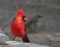 Cardinal. Bright red body, alert plume and bright eye. This unmistakable bird casts its glance from a large rock Royalty Free Stock Photo