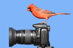 Cardinal On A Camera Royalty Free Stock Photo