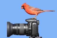 Cardinal On A Camera royalty free stock photo