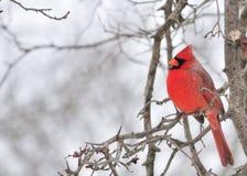 Cardinal (Cardinalis cardinalis) Royalty Free Stock Photos