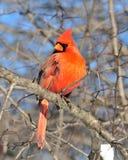 Cardinal (Cardinalis cardinalis) Royalty Free Stock Images