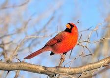 Cardinal (Cardinalis cardinalis) Stock Image