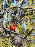 Cardinal in Cedar Royalty Free Stock Images