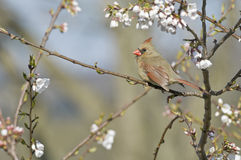 Cardinal and Cherry Blossoms in Spring Stock Image
