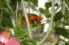 Cardinal and Chicks Royalty Free Stock Images