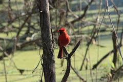 Cardinal at Circle B. Reserve Ranch park in Lakeland, Florida Royalty Free Stock Images