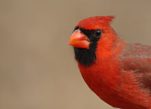 Cardinal Closeup Royalty Free Stock Photo