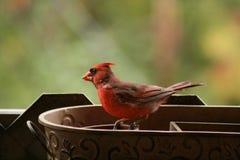 Cardinal coloré brillant à aimer Image stock