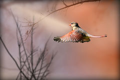 Cardinal coming in for a landing. Female cardinal flying coming in for a landing Royalty Free Stock Image