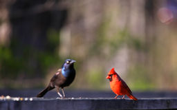 Cardinal and common Grackle Stock Images