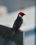 Cardinal on concrete perch royalty free stock photos
