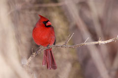 Cardinal on a cool autumn day. Cardinal surveys the forest while perched on a branch; background consists of a shallow focus of the browns and tans of the forest royalty free stock image