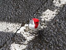 Cardinal crêté rouge sur Maui, Hawaï photos libres de droits