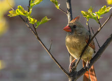 Cardinal on Crepe Myrtle Royalty Free Stock Photo