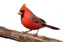 Cardinal d'isolement sur un tronçon photographie stock libre de droits