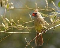 Cardinal dans l'arbre Image libre de droits