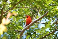 Cardinal dans l'arbre Photographie stock libre de droits