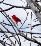 Cardinal dans l'arbre Photographie stock