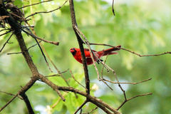 Cardinal dans l'arbre Photos libres de droits