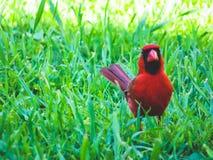 Cardinal dans l'herbe verte semblant fâchée image libre de droits