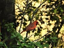 Cardinal dans le Nankink Cherry Bush Photo stock