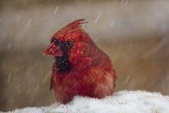 Cardinal dans les chutes de neige Photographie stock