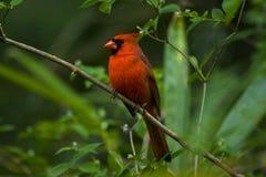 Cardinal dans un arbre Photographie stock libre de droits