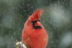 Cardinal dans une tempête de neige photos stock