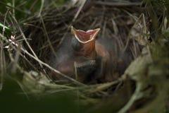 Cardinal de bébé dans un nid avec la bouche ouverte attendant à Images libres de droits