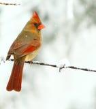Cardinal de neige Image libre de droits