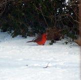 Cardinal de Noël images stock