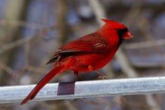 Cardinal de ressort Image stock