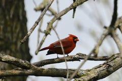 #2 cardinal do norte fotos de stock royalty free