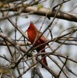 #1 cardinal do norte imagem de stock royalty free