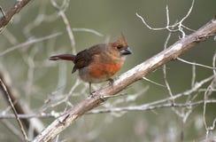 Cardinal do norte, reserva natural da ilha de Pickney, South Carolina fotos de stock royalty free