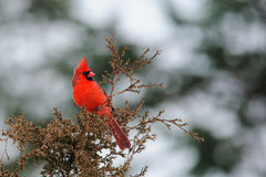 Cardinal du nord Photo libre de droits